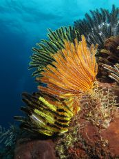 450px-Colorful_crinoids_at_shallow_waters_of_Gili_Lawa_Laut